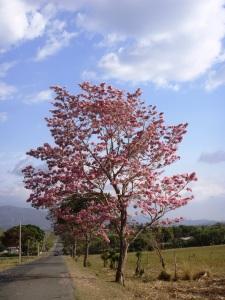 Maquilishuat (Tabebuia rosea ), el árbol nacional. Foto: eaTropía