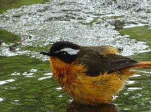 Pájaro, Shashemene, Etiopía